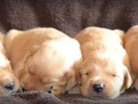 AKC Golden Retriever Puppies Our dark red, Miss Leah