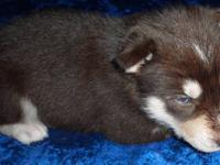 "Dark red and white or ""copper and white"" male Siberian"