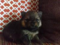 Gorgeous, AKC Dark Sable pomeranian puppy female. She