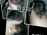 Name: Dozer Color: red sable Dob: 8/7/15 Ready Date: