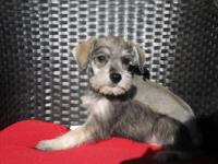 Quality AKC registered Dark Salt n Pepper Male - Mini