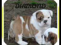 AKC DIAMOND IS A FAWN AND WHITE SHE IS BEING RAISED IN