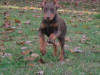 Champion bred Red & Rust male Doberman Pinscher pup.