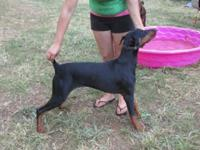 AKC Blk/tan 1 year old female. Great