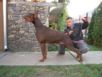 AKC Dobermans, Kimbertal puppies, bought them as a pair