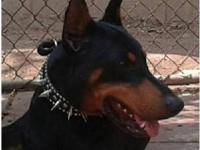 Rockee is 4 years old, 103 lbs, European Bloodline...