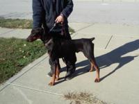 Deep Brown male AKC doberman. 1 yr old. Full