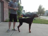 I am selling my 8 month old Doberman male. AKC, full