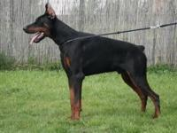 Located in NORTHERN IDAHO AKC litter of Doberman