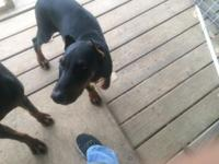 AKC Registered Black and Rust Male Doberman Puppy, born