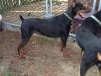 Beautiful AKC Doberman Pinscher, DOB 01/29/12, intact