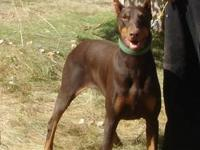 AKC Doberman Pinscher - 2 years old. Beautiful Dark red