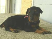 AKC Doberman Pinscher puppies born 6/19/13 now taking