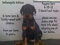 black/rust male AKC Doberman Pinscher puppies available