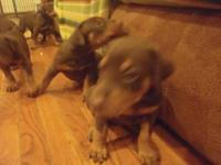 AKC Doberman Pinscher puppies, five males and five