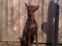 Outstanding littler of AKC Doberman Pinscher puppies