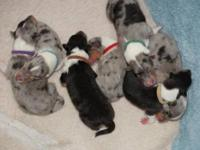 These puppies were whelped on October 6th, 2013 and are