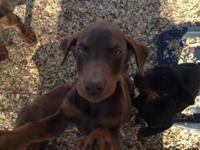 Two AKC Doberman puppies. One red male and one red