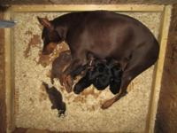 I have seven stunning Doberman Pinscher puppies. I have