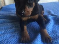 AKC European Doberman Pinscher young puppies. Vet