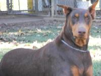 We now have AKC Dobie pups ready for their new homes.