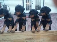 AKC doberman pinscher puppies. 3 male 1 female (female