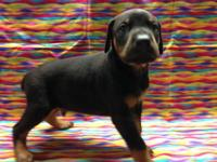 AKC Doberman Puppies 2 Males left Black and Rust.