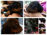 1/2 Euro AKC Doberman Pinscher Puppies One litter is 2