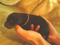 AKC Doberman Pinscher puppies born 6/13/13 now taking