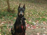 We had a litter of 9 Doberman puppies born on Feb 4th,