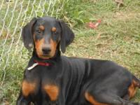 AKC Doberman Pinscher pups,Champion bloodline, only