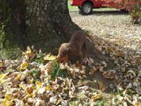 Akc doberman puppies 2 males left one red n rust and