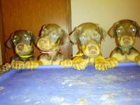 We have 8 Light to Dark Red & Rust AKC registered