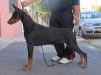 4 year old Black/Rust Doberman male with very nice