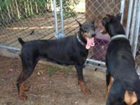 Beautiful AKC Doberman Pinscher, young adult female