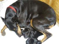 AKC Dobermans, Champion blood lines. Black & Rust.
