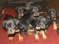 I HAVE 4 MALE DOBERMAN PUPPIES LEFT. THEY ARE ALL BLACK