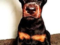 AKC Doberman puppies male female black/rust. Young