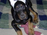 AKC reg doberman puppies 2 black males. UTD on worming