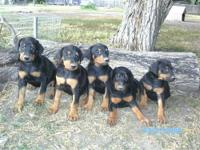 AKC Registered Doberman Puppies They come with full AKC