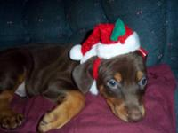 Doberman puppies born Oct.14,2013.....AKC reg....Will