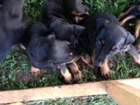 AKC Doberman puppies for sale. Prepared to go to