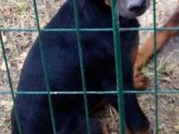 I have two Doberman young puppies left !! They need to