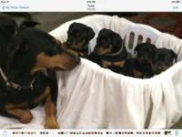 AKC Doberman puppies Black and Rust in color for sale.