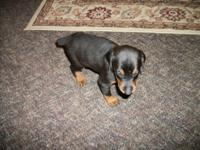 GORGEOUS DOBERMAN PUPPIES RAISED WITH LOVE AT OUR HOME