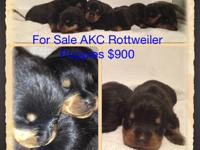 AKC Doberman puppies-  Imported European Sire~ AKC
