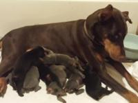 AKC Doberman young puppies, Excellent quality. Blue & &