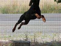 Beaurful work and show qualty Doberman puppies Sired