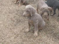 WE are AKC Doberman Pinscher young puppies !! Born Dec.