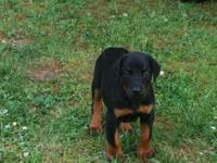 AKC Doberman young puppies for sale. Champion